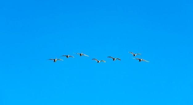 Серые дикие гуси летают против голубого неба. ленинградская обл.