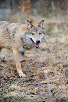 숲에서 회색 야생 늑대 (canis lupus)