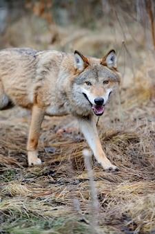 Серый дикий волк (canis lupus) в лесу