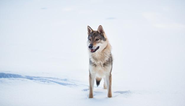 雪の上の牧草地に立っている灰色オオカミcanislupus