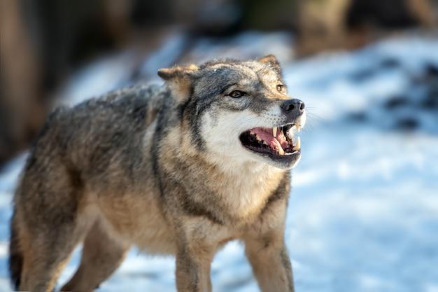 Серый волк canis lupus стоит зимой