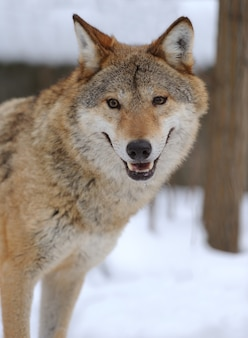 Grey wolf (canis lupus) in winter time