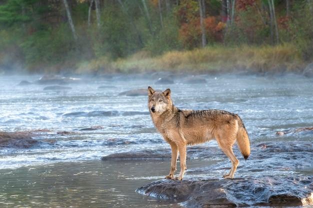 Grey wolf crossing a misty river at dawn