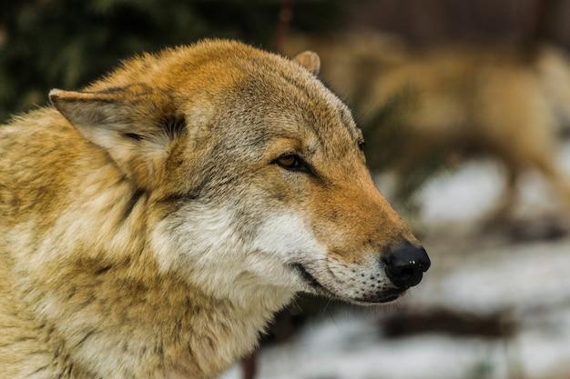 灰色オオカミ、横頭の肖像画