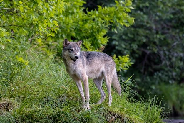 Серый волк на траве