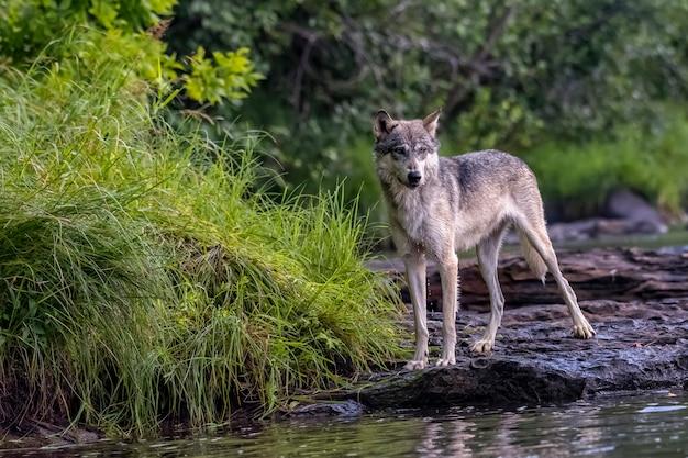 Серый волк на скалистом берегу протекающей реки