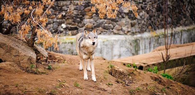 회색 늑대 초상화