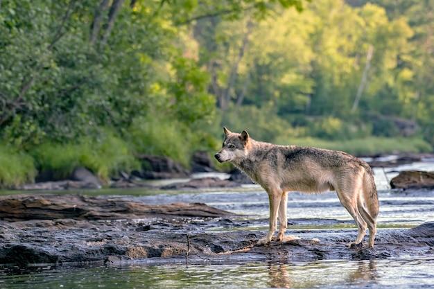 Серый волк идет по скалам в текущей реке