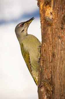 Greyheaded woodpecker climbing the tree in winter sunny weather