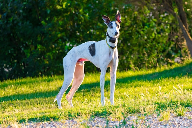 Greyhound (dog) of white color and black specks. with colorful necklace and with gps dogs. in a park with trees and green lawn in sunny afternoon.