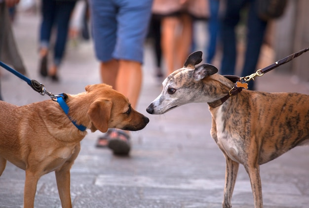 Greyhound dogs smelling