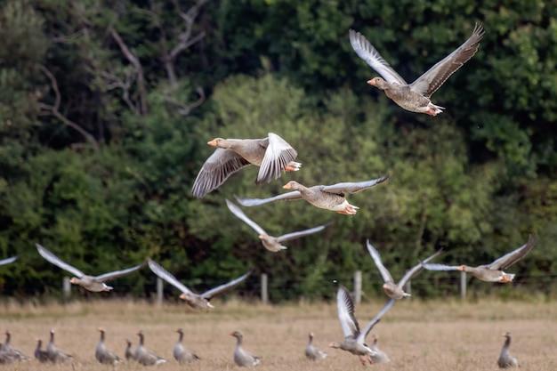 Серые гуси (anser anser) летают над недавно убранным пшеничным полем