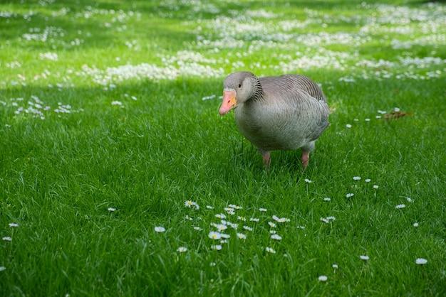 A greylag goose (anser anser) wandering through the grass