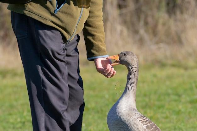 Серый гусь на природе, которого мужчина кормит зерном