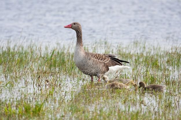 水の上に立って幼い他の-家禽を持つハイイロガンの母。