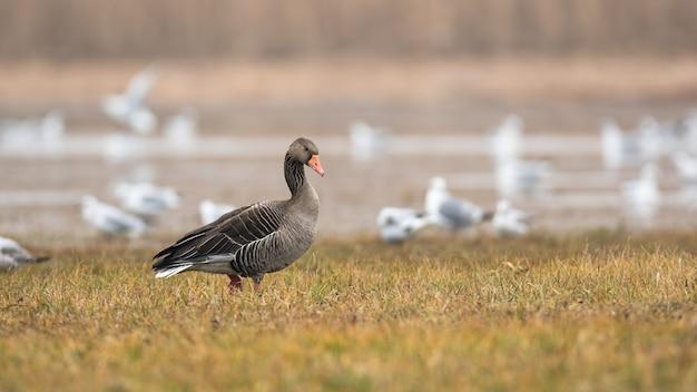 Серый гусь гуляет по затопленному полю в осенней природе.