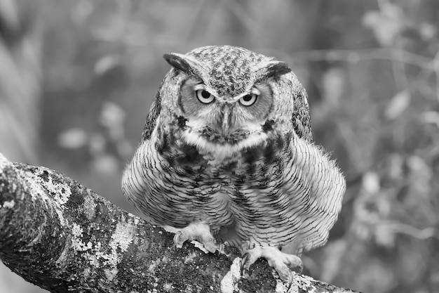 Greyscale closeup of a black horned owl on a tree branch