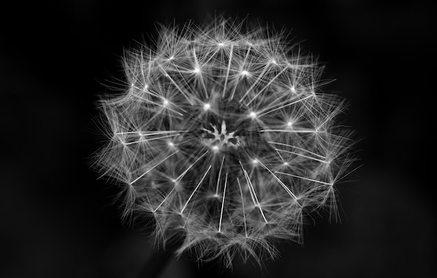 Greyscale closeup shot of a dandelion with a black background