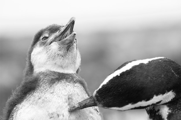 Greyscale closeup shot of two cute penguins playing with each other