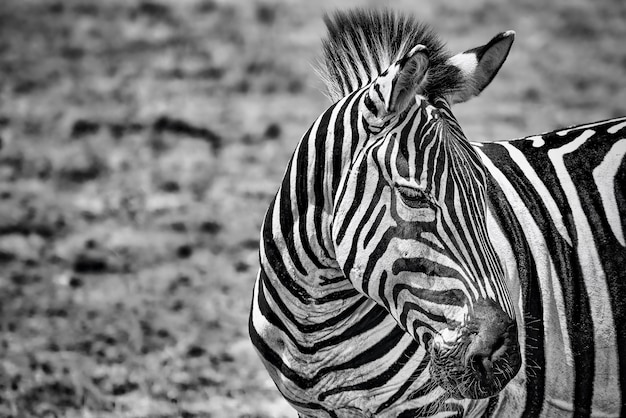 Greyscale closeup of a zebra in a field under the sunlight