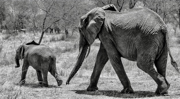 Greyscale shot of a cute elephant walking on the dry grass with its baby in the wilderness