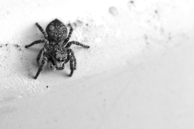 Greyscale shot of a small dendryphantes on a wall under the lights