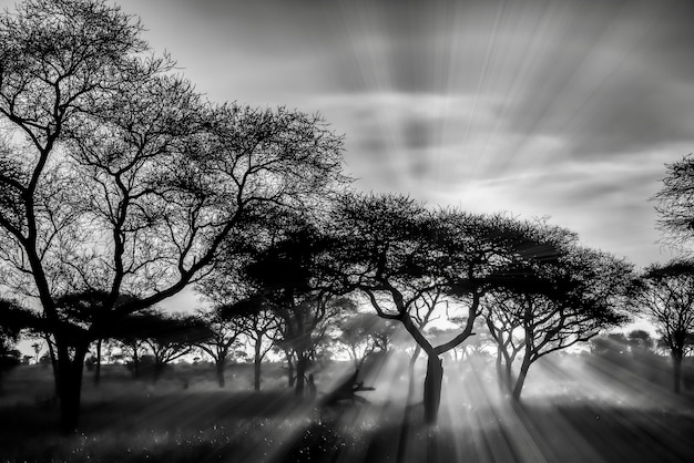 Greyscale shot of the trees in the savanna plains during sunset