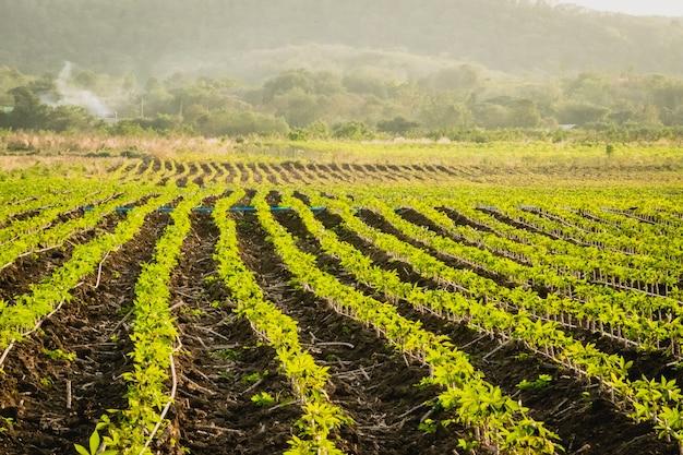 농업 농장 자연 풍경입니다. 드넓은 들판에서 자라는 어린 식물의 줄.