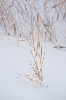 Grid of grass reed bushes covered in snow