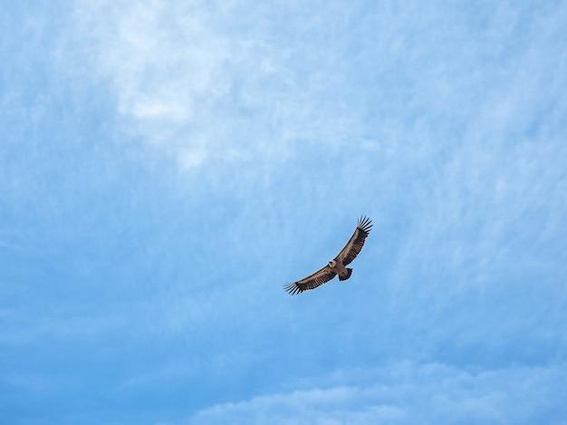 Griffon vulture gyps fulvus flying on the blue sky.