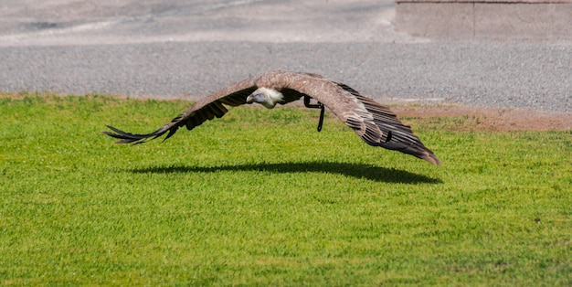 地面の近くを飛んでいるグリフォンのハゲタカ(gyps fulvus)