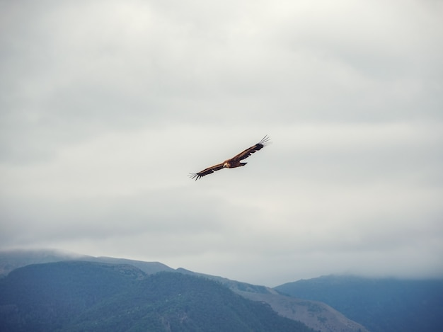 Griffon vulture gyps fulvus flying on the sky over the mountains.