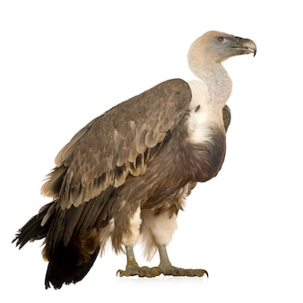 Griffon vulture - gyps fulvus in front on a white isolated