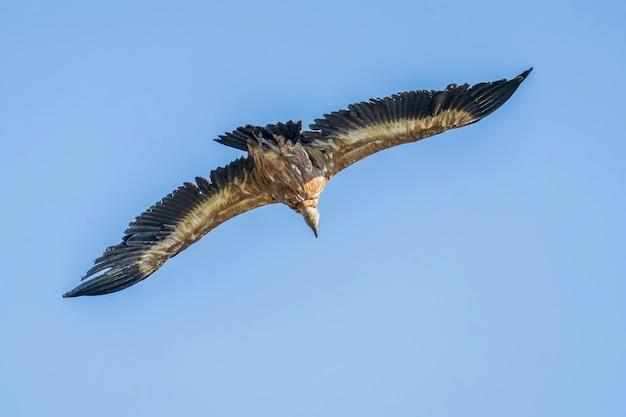 飛行中のグリフォンハゲタカ(gyps fulvus)、アルコイ、バレンシアコミュニティ、スペイン。