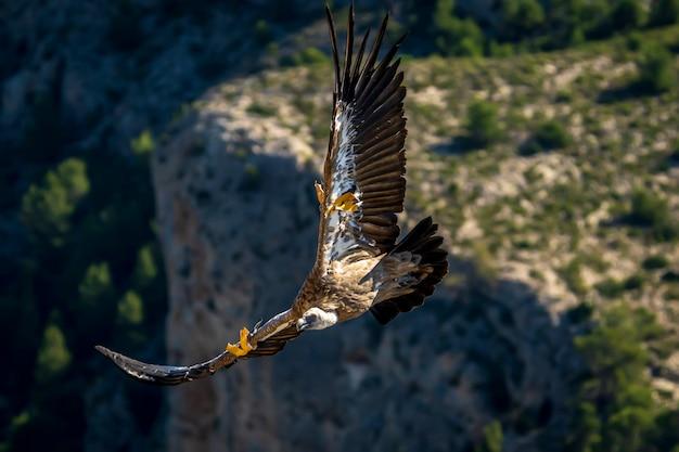 飛行中のグリフォンハゲタカ(gyps fulvus)、アルコイ、バレンシアコミュニティ、スペイン。 Premium写真