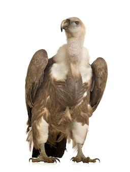グリフォンのハゲタカ-分離された白の前にジプシーfulvus