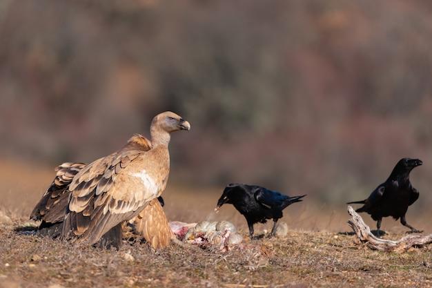 野生のグリフォンハゲタカgypsfulvus。