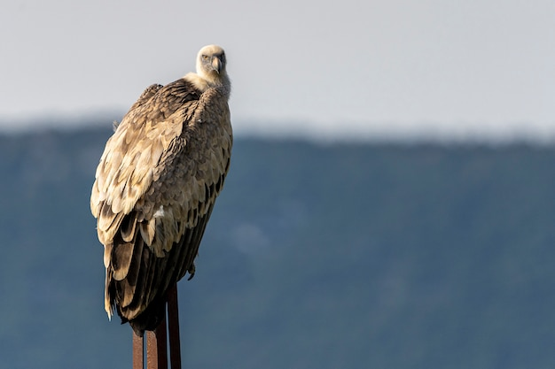 Griffon vulture (gyps fulvus) perched on a pole