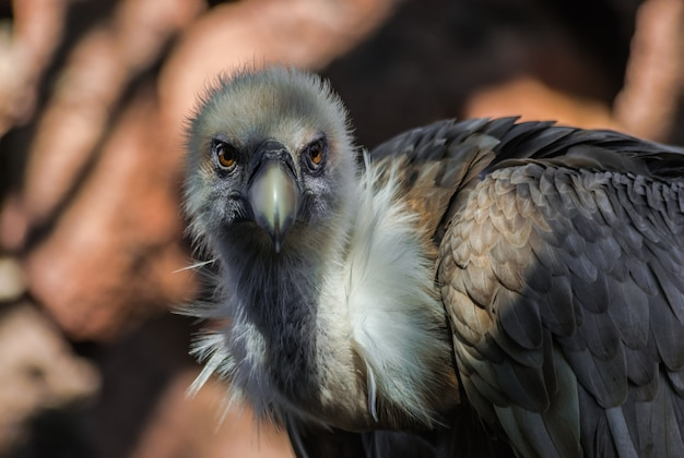 Griffon vulture portrait  (gyps fulvus), with sunlight and shadow, and with rocks