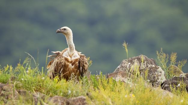 夏の自然の中で緑の草で地面に座っているグリフォンのハゲタカ