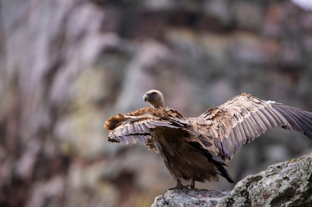 Griffon vulture in the wild on a mountain side