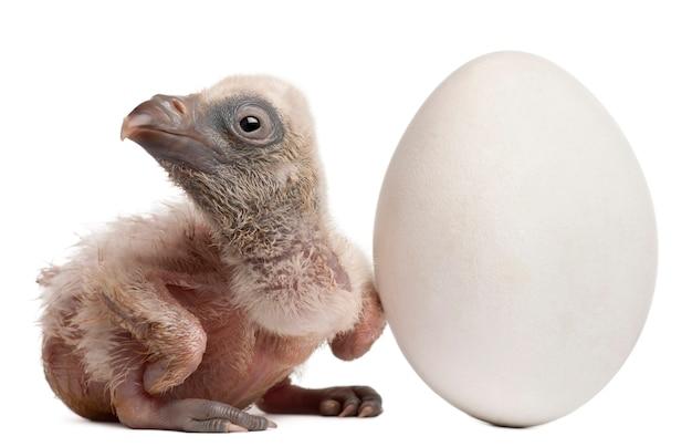 白い背景の前に彼の卵ジプスfulvusとグリフォンのハゲタカ