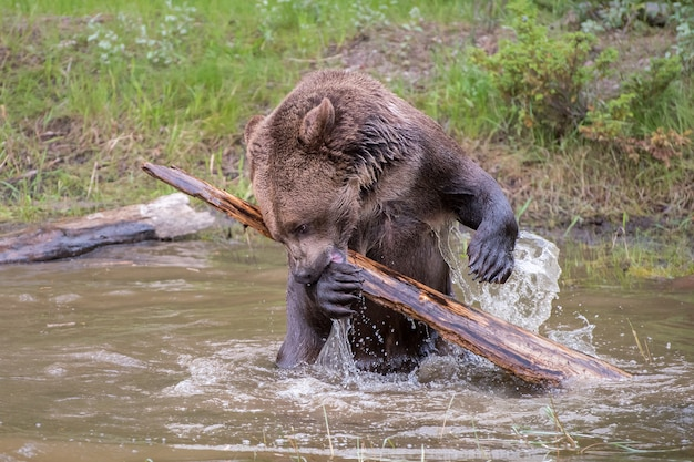 Медведь гризли, рыскающий по бревну и плещущийся в воде