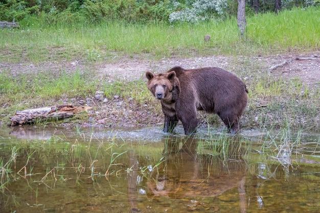 Медведь гризли, идущий в воду с хорошим отражением