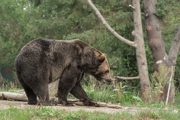 Grizzly bear walking on a pathway with a blurred forest
