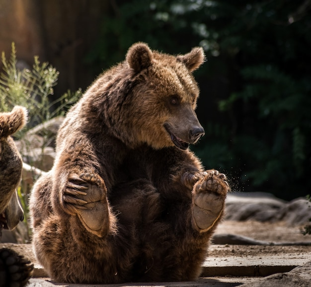 Grizzly playful