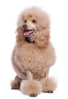 Groomed apricot poodle