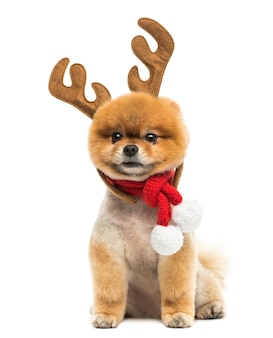 Groomed pomeranian dog sitting and wearing reindeer antlers headband and a christmas scarf
