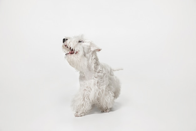 Ухоженный щенок терьера с пушистой шерстью. милая белая маленькая собачка или домашнее животное играет и работает на белом фоне.
