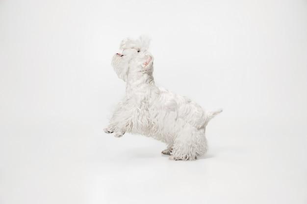 Cucciolo di terrier curato con soffice pelliccia. carino piccolo cagnolino bianco o animale domestico sta giocando e in esecuzione isolato su sfondo bianco.